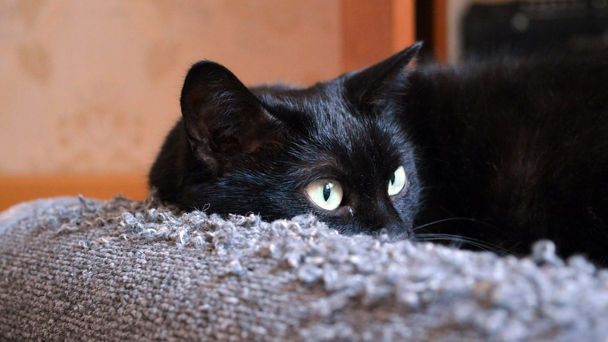 Cats scratching your Furniture? Methods Alternative to Declawing